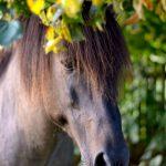 Borelioza u koni?